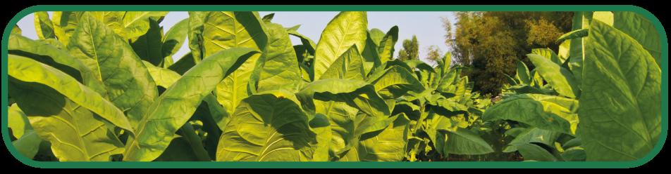tabac origin nv